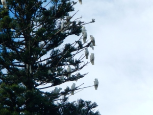 Cockatoos in the wild, Sydney Botanic Gardens